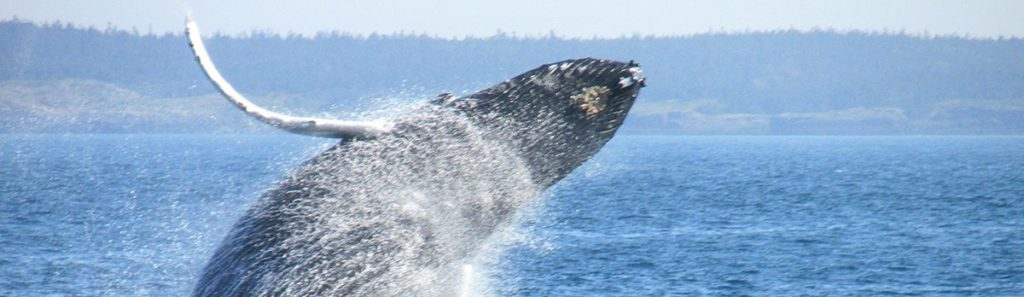 Right whale leaping from the ocean.